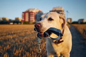 bigstock-Dog-Holding-Leash-In-Mouth-La-390060739