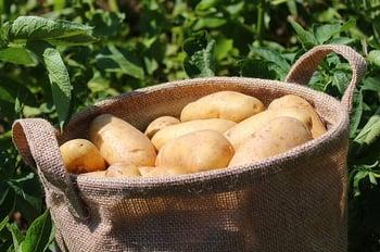 bigstock-Ripe-Potatoes-In-A-Jute-Bag-In-419823148 (1)A